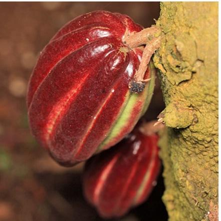 Как растет какао?