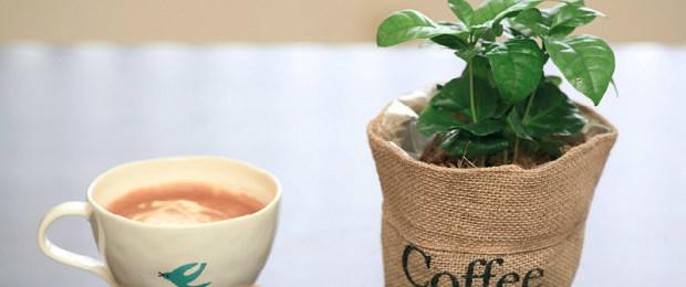 кофейное дерево в домашних условиях