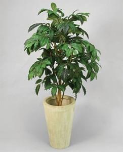 кофейное дерево уход