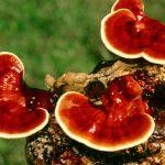 гриб рейши